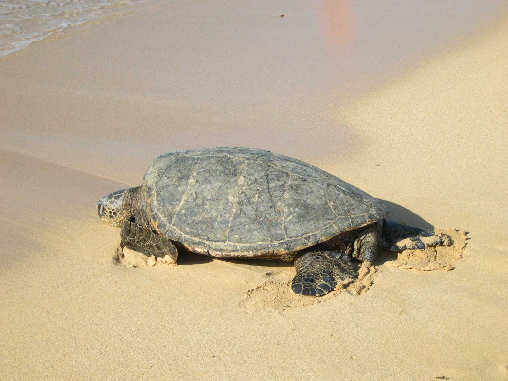 A frequent visitor to our shores is the green sea turtle.  Y